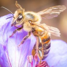 Apis mellifera ~ Honey Bees