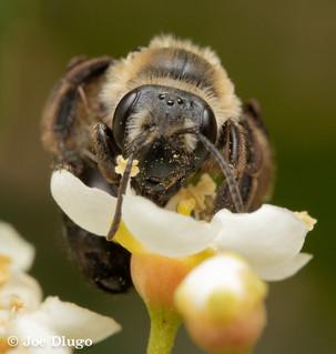 "Andrena sp. | on Prunus lusitanica ""Portugese cherry laurel"" | USA, Washington, Tenino | 2018-06-13"