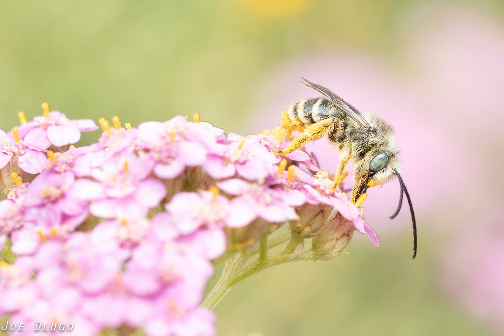 A small hairy long-horned bee with blue eyes and long antenna at the end of a cluster of pink yarrow flowers