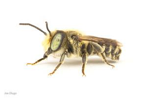 Megachile sp. (male) | USA, Washington, Tenino | 2020-07-30