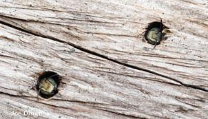 Megachile sp. (males) on old log | USA, Washington, Tenino | 2018-07