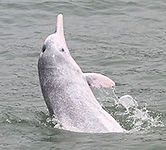 A humpback dolphin breaches from the water. The dolphin has a long nose and mottled pink and gray skin.