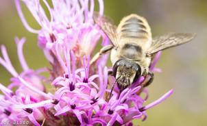 Megachile sp. on Liatris aspera | USA, Washington, Tenino | 2018-08