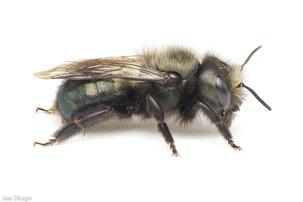 Osmia lignaria (female) | USA, Washington, Thurston County | 2021-04-20