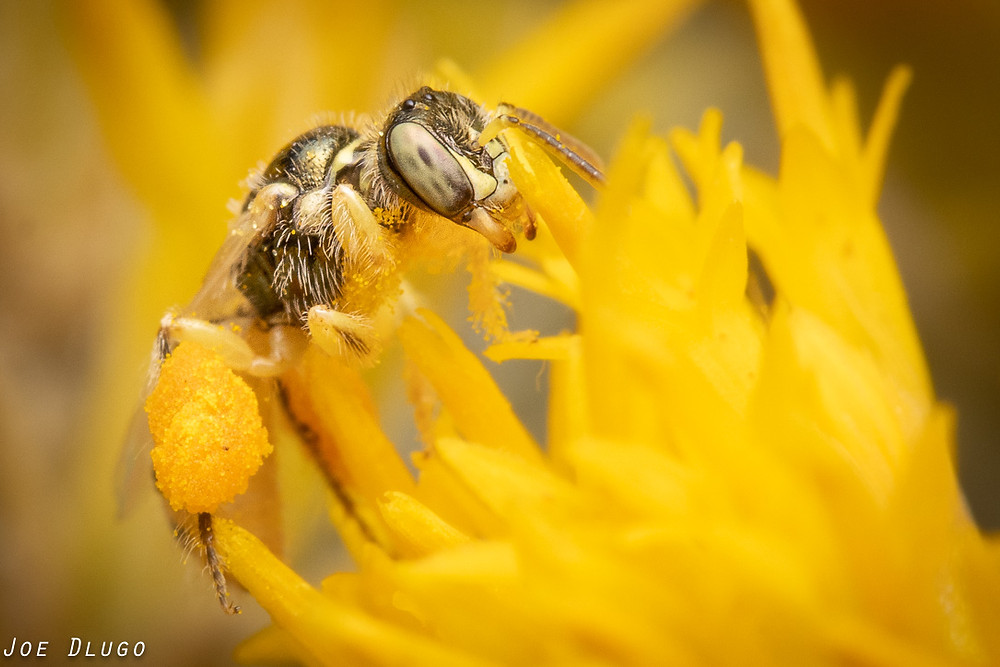 A tiny fairy bee of the genus Perdita with green eyes and substantial pollen sacs visits rubber rabbitbrush