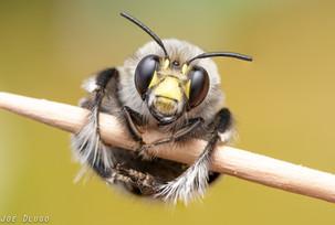 Habropoda sp. on toothpick | USA, Washington, Tenino | 2020-04-10