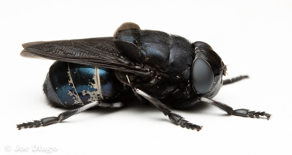A very large dark blue fly at rest on a white background.