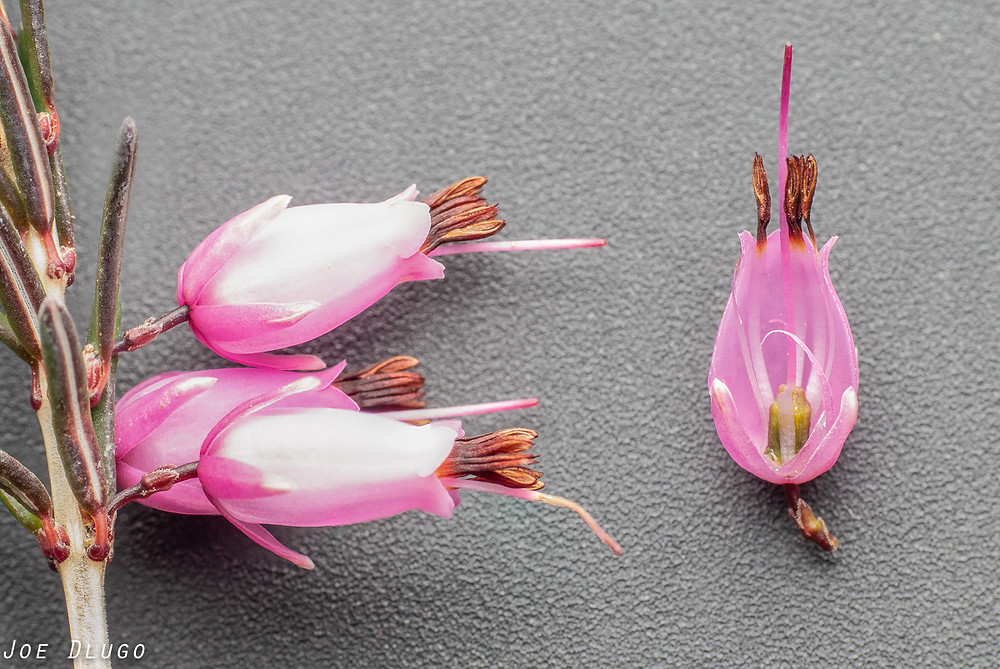 Dissection of an Erica carnea flower, winter heath.  Showing the nectaries at the base of the flower covered in nectar.