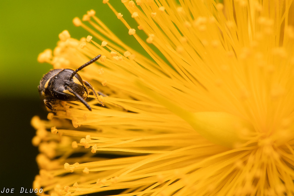 A tiny masked bee, Hylaeus sp. ambles along the numerous long stamens of shrubby st. john's wort, Hypericum prolificum