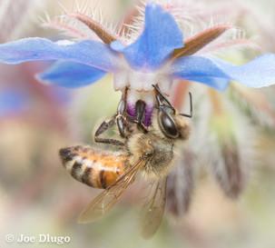 Apis mellifera on Borago officinalis | USA, Washington, Tenino | 2019-10-17