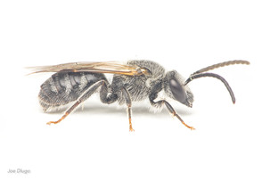 Lasioglossum sp (male) | USA, Washington, Tenino | 2020-10-1