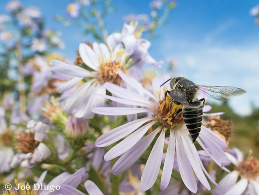 coelioxys-wideAster-home-091017.jpg