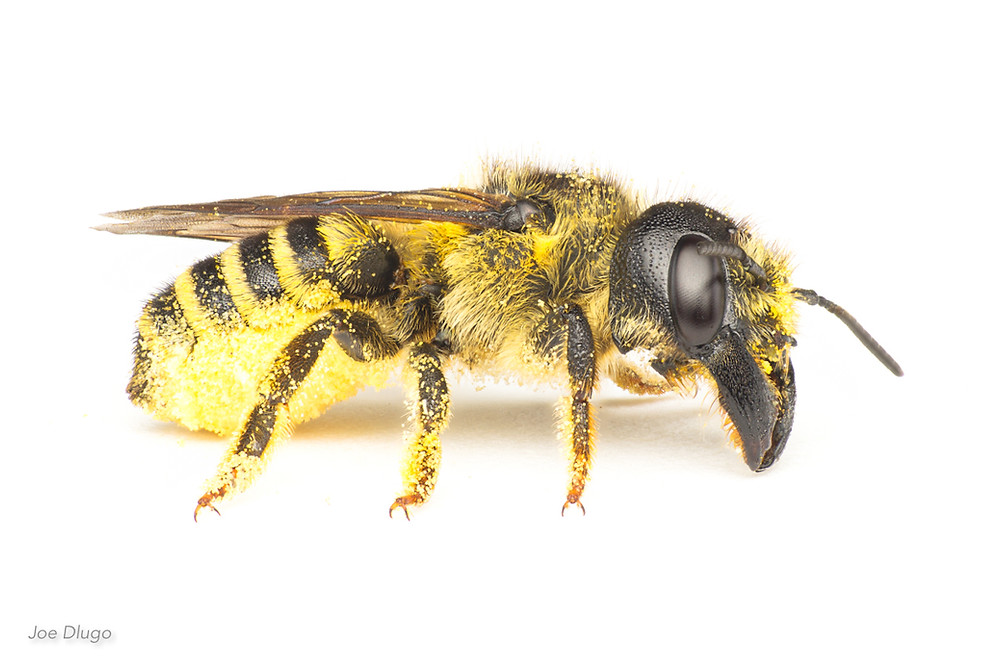 A large leafcuter bee, Megachile pugnata, on a white background, showing her large mandibles, dark head, furry thorax and yellow striped abdomen in good detail.