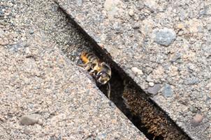 Megachile perihirta in ground nest entrance | USA, Washington, Tenino | 2019-08-14