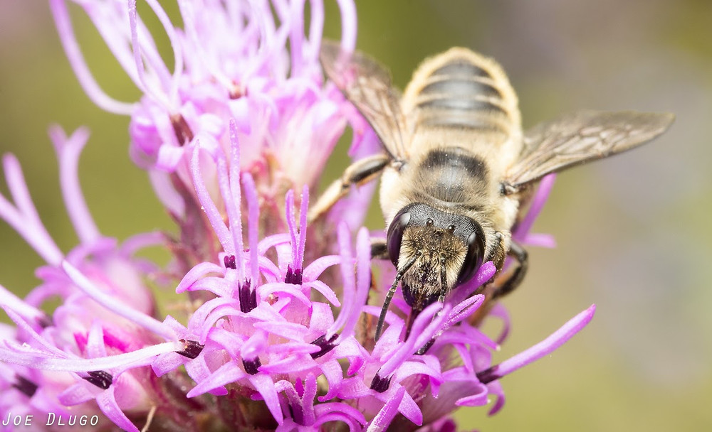 A female Megachile periherta sips nectar from the tendril-like pink flowers of a Liatris