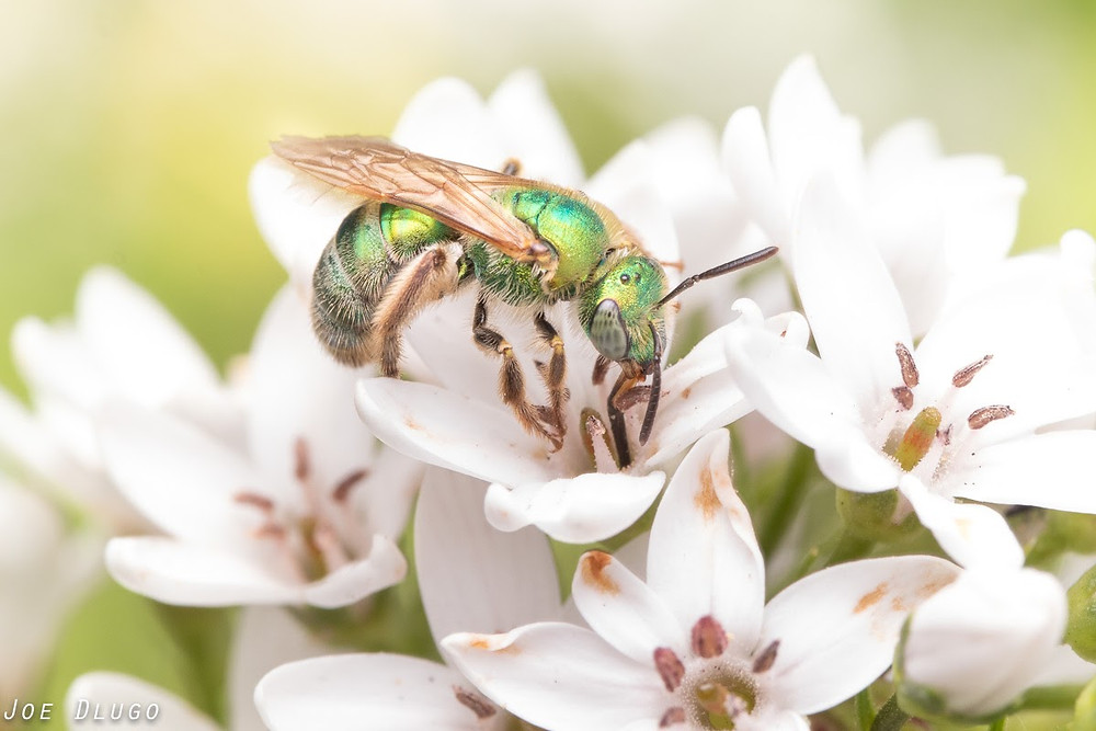 An iridescent green and blue jewel bee of the genus Agapostemon on white flowers of Lysimachia clethroides