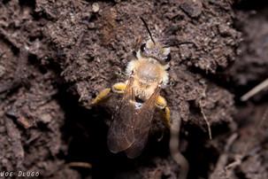 Andrena sp. at ground nest | USA, Washington, Tenino | 2016-04-07