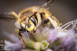 "Anthidium manicatum on Agastache foeniculum ""hyssop"" | USA, Washington, Tenino | 2015-08-29"