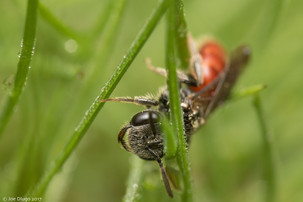 sphecodes-grass-home-0416.jpg