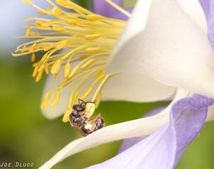 "Lasioglossum (Dialictus) on Aquilegia coerulea ""Rocky Mountain Columbine"" | USA, Washington, Tenino | 2016-06-04"
