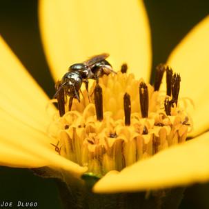 Ceratina sp. on Helianthus sp. | USA, Pennsylvania, New Hope (Bowman's Hill Wildflower Preserve) | 2019-07-06