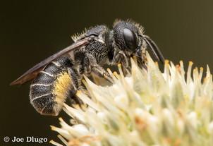 "Heriades sp. ""small resin bee""   on Eryngium agavifolium   USA, Washington, Tenino   2018-07-03"