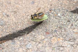 Megachile perihirta female carrying leaf to nest entrance | USA, Washington, Olympia | 2019-08-14