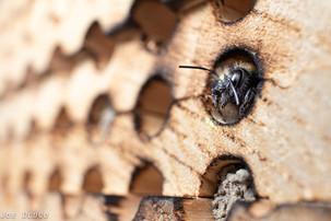 Osmia lignaria looking out of bee boards | USA, Washington, Tenino | 2016-04-28