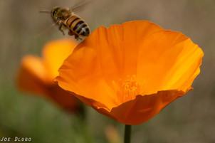 Apis mellifera on Eschscholzia californica | USA, Washington, Tenino | 2015-10-04