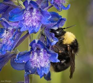 Bombus californicus | USA, Washington, Thurston County | 2019-06-16.jp