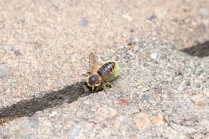 Megachile perihirta walking into nest | USA, Washington, Olympia | 2019-08-14