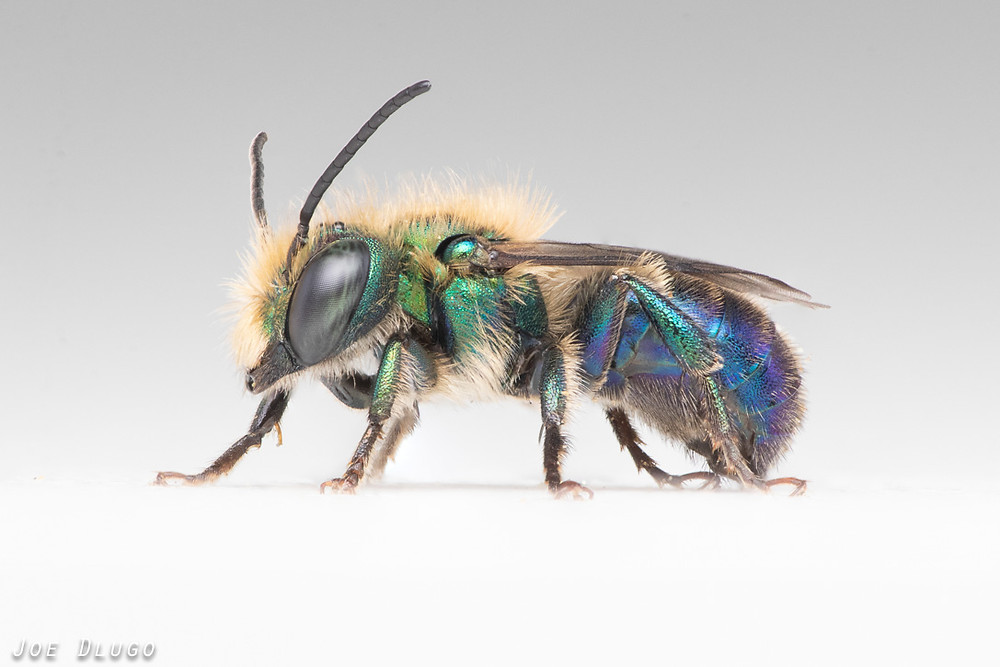 An iridescent green and blue male Osmia aglaia standing in portrait against a white background