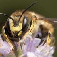Anthidium ~ Wool Carder Bees