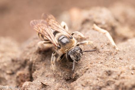 """Nomia melanderi """"alkali bee"""" (female)   USA, Washington, Touchet   2019-06-21"""