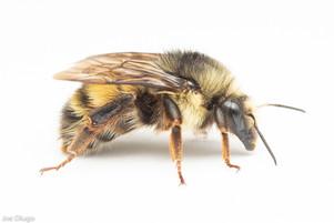 Bombus flavifrons (queen) | USA, Washington, Thurston County | 2021-04-13