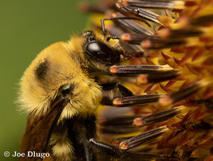 "Bombus griseocollis (male) | on Helianthus annuus ""common sunflower"" | USA, Washington, Vancouver (Fort Vancouver) | 2018-07"