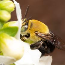 Centris ~ Oil Baron Bees
