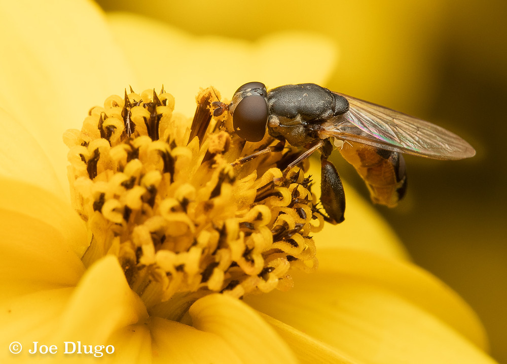 A small flower fly with thick hind legs on a yellow Bidens flower.