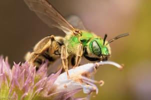 Agapostemon virescens (female) on Agastache foeniculum | USA, Washington, Tenino | 2020-10-06