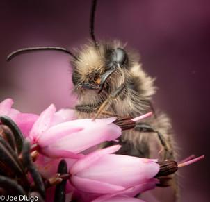 "Andrena sp (male) | on Erica sp. ""winter heath"" | USA-Washington-Tenino | 2018-03-16"