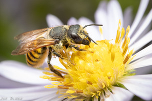 Megachile fidelis on Symphyotrichum chilense (Pacific Aster) | USA, Washington, Tenino | 2019-09-14