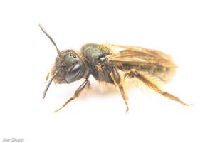 Andrena sp. | USA, Washington, Rochester (Scatter Creek Wildlife Area) | 2020-06-29