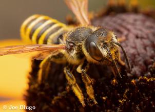 "Megachile fidelis on Rudbeckia ""Goldsturm"" | USA, Washington, Tenino | 2018-08-18"