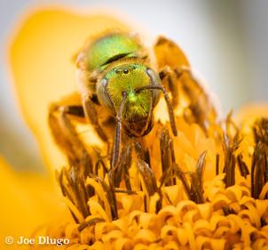 "Agapostemon sp. (female) | on Heliopsis helianthoides ""Sunstruck Sunflower"" | 2018-06"