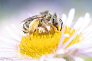 Melissodes sp. on Erigeron glaucus   USA, Washington, Brush Prairie (NatureScape Wildlife Botanical Gardens)   2019-07-22