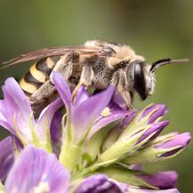 Nomia melanderi ~ Alkali Bees