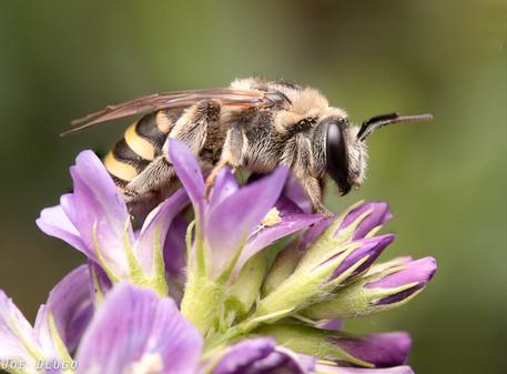 "Nomia melanderi ""alkali bee"" (female)   on Medicago sativa ""alfalfa""   USA, Washington, Touchet   2019-06-21"