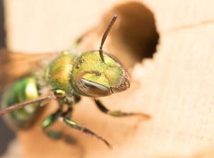 Hoplitis sp. at nest hole in bee boards | USA, Washington, Tenino | 2016-06-06