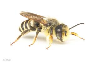 Megachile sp. (male) | USA, Washington, Tenino | 2020-07-26