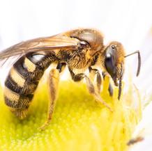 Lasioglossum ~ Base-banded Furrow Bees